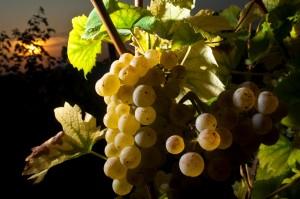 Haloze - grozdje -4542